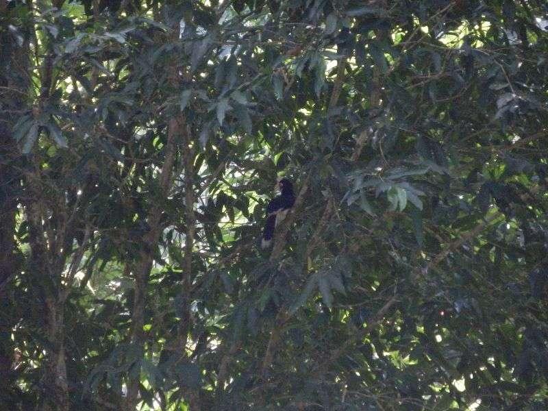 noch ein Hornbill